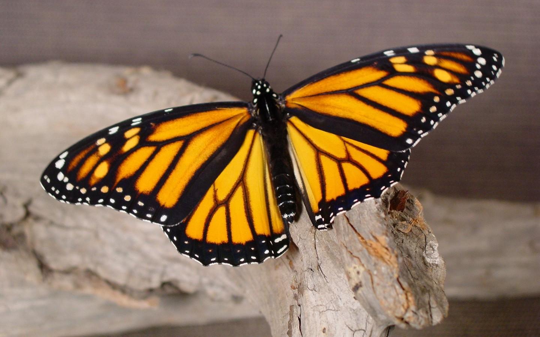 蝴蝶飞舞高清电脑壁纸