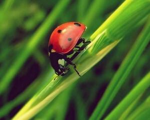 漂亮的红色瓢虫特写手机壁纸