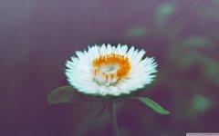 一朵梨花压海棠 植物风景高清壁纸