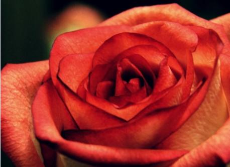 玫瑰高清安卓手机壁纸