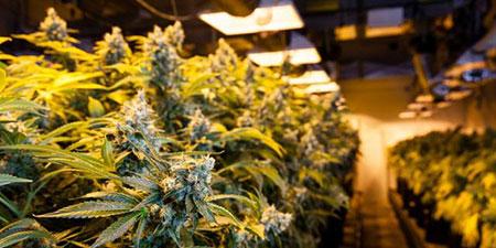 微软进军大麻种植业:开发软件只为大麻合法销售